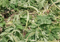 Selektivní-herbicid