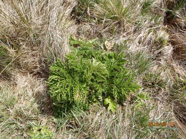 Bolševník-první-jarní-rostlina