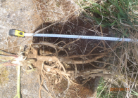 Délka-kořene