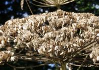 Detail-zralý-okolík-se-semeny