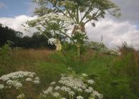 Mohutná-rostlina-bolševníku-velkolepého