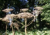 Semenící-porost-2