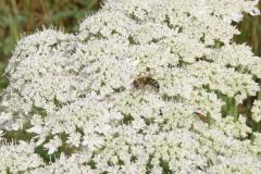 Opylení-včelami